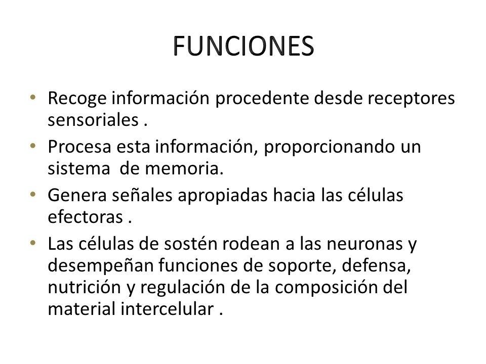 Recoge información procedente desde receptores sensoriales. Procesa esta información, proporcionando un sistema de memoria. Genera señales apropiadas
