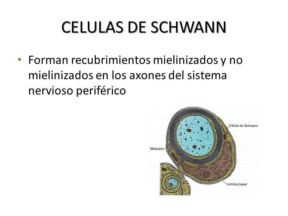 CELULAS DE SCHWANN Forman recubrimientos mielinizados y no mielinizados en los axones del sistema nervioso periférico