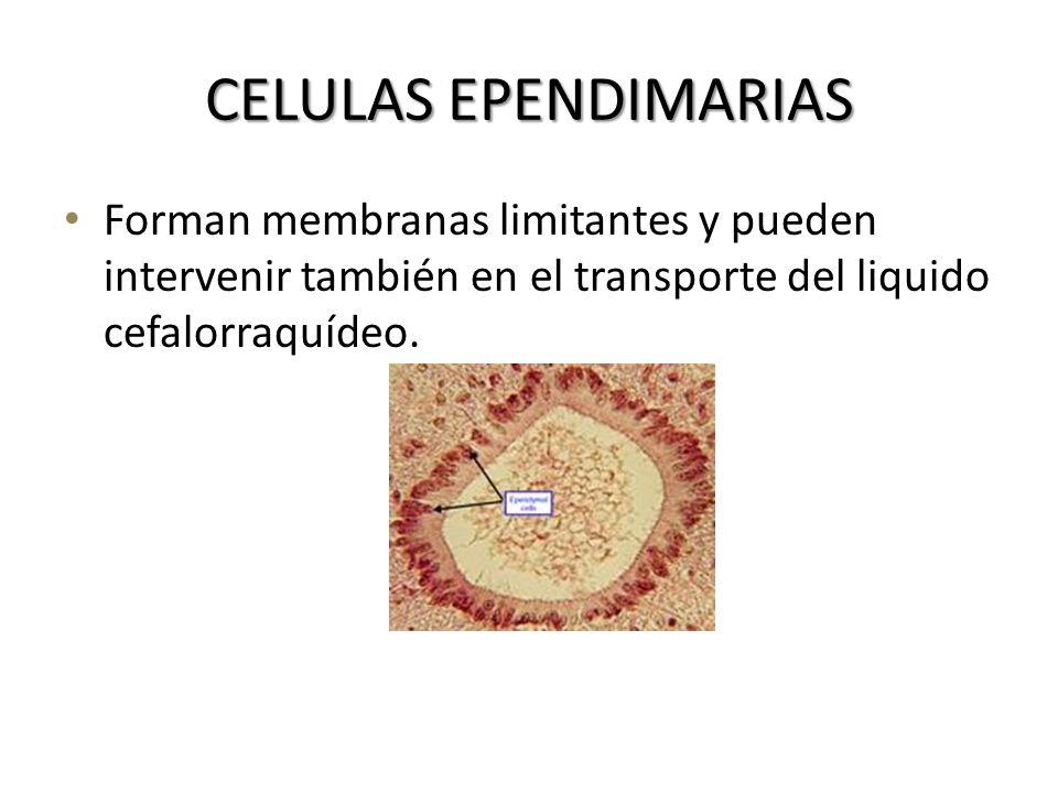 CELULAS EPENDIMARIAS Forman membranas limitantes y pueden intervenir también en el transporte del liquido cefalorraquídeo.