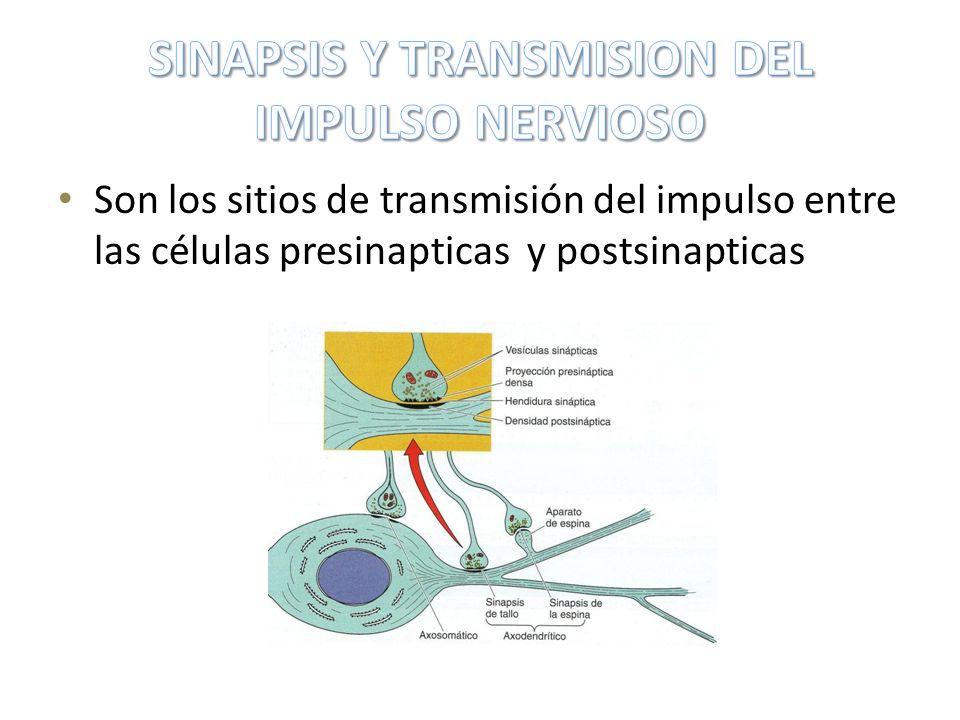 Son los sitios de transmisión del impulso entre las células presinapticas y postsinapticas