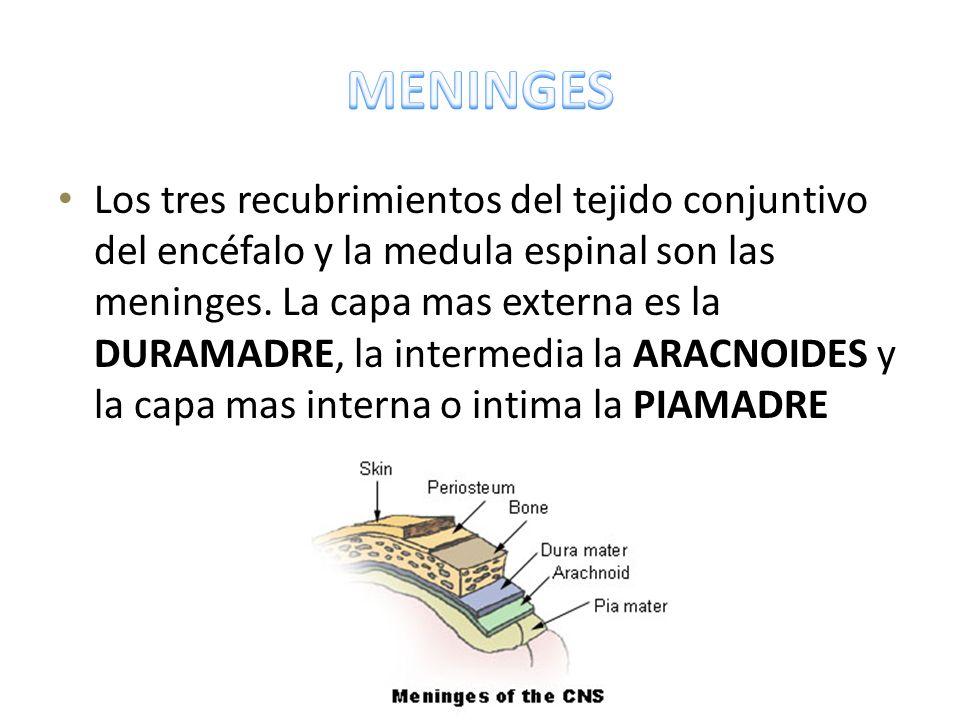 Los tres recubrimientos del tejido conjuntivo del encéfalo y la medula espinal son las meninges. La capa mas externa es la DURAMADRE, la intermedia la