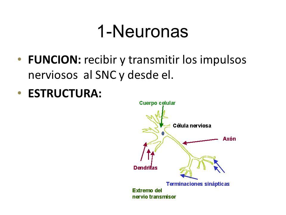 FUNCION: recibir y transmitir los impulsos nerviosos al SNC y desde el. ESTRUCTURA: 1-Neuronas