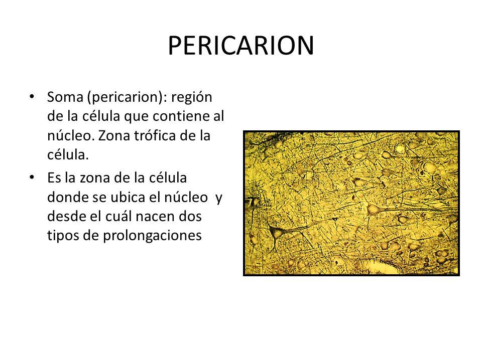 PERICARION Soma (pericarion): región de la célula que contiene al núcleo. Zona trófica de la célula. Es la zona de la célula donde se ubica el núcleo
