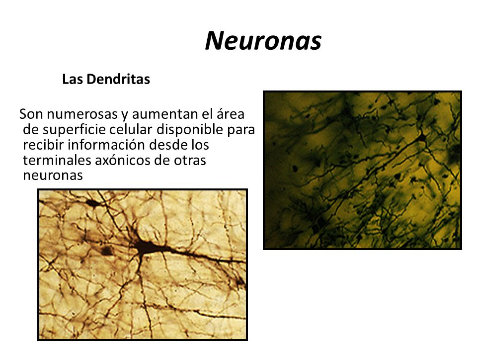 Neuronas Las Dendritas Son numerosas y aumentan el área de superficie celular disponible para recibir información desde los terminales axónicos de otr