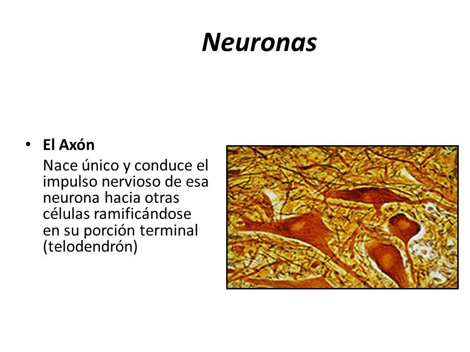Neuronas El Axón Nace único y conduce el impulso nervioso de esa neurona hacia otras células ramificándose en su porción terminal (telodendrón)