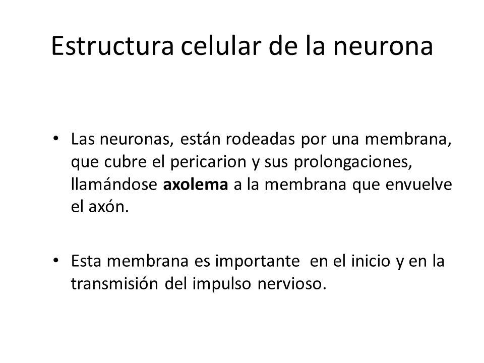 Estructura celular de la neurona Las neuronas, están rodeadas por una membrana, que cubre el pericarion y sus prolongaciones, llamándose axolema a la