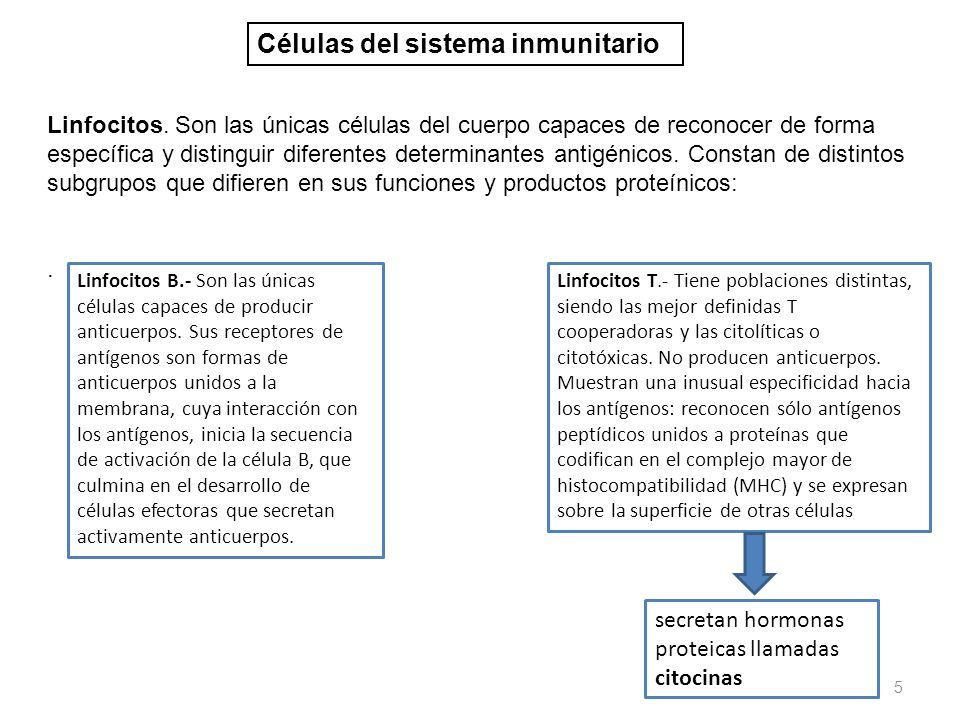 5 Linfocitos. Son las únicas células del cuerpo capaces de reconocer de forma específica y distinguir diferentes determinantes antigénicos. Constan de