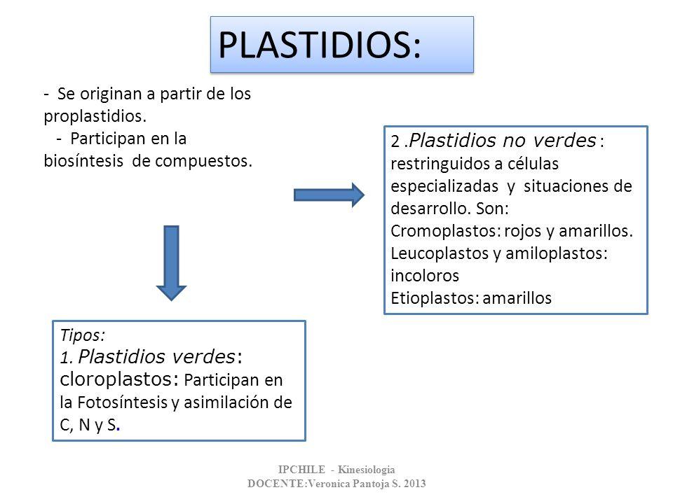 - Se originan a partir de los proplastidios. - Participan en la biosíntesis de compuestos. Tipos: 1. Plastidios verdes: cloroplastos: Participan en la