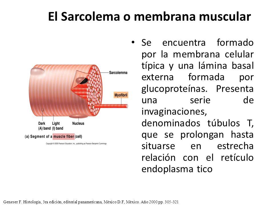 El Sarcolema o membrana muscular Se encuentra formado por la membrana celular típica y una lámina basal externa formada por glucoproteínas. Presenta u