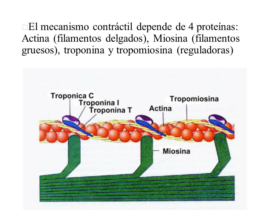 El mecanismo contráctil depende de 4 proteínas: Actina (filamentos delgados), Miosina (filamentos gruesos), troponina y tropomiosina (reguladoras)