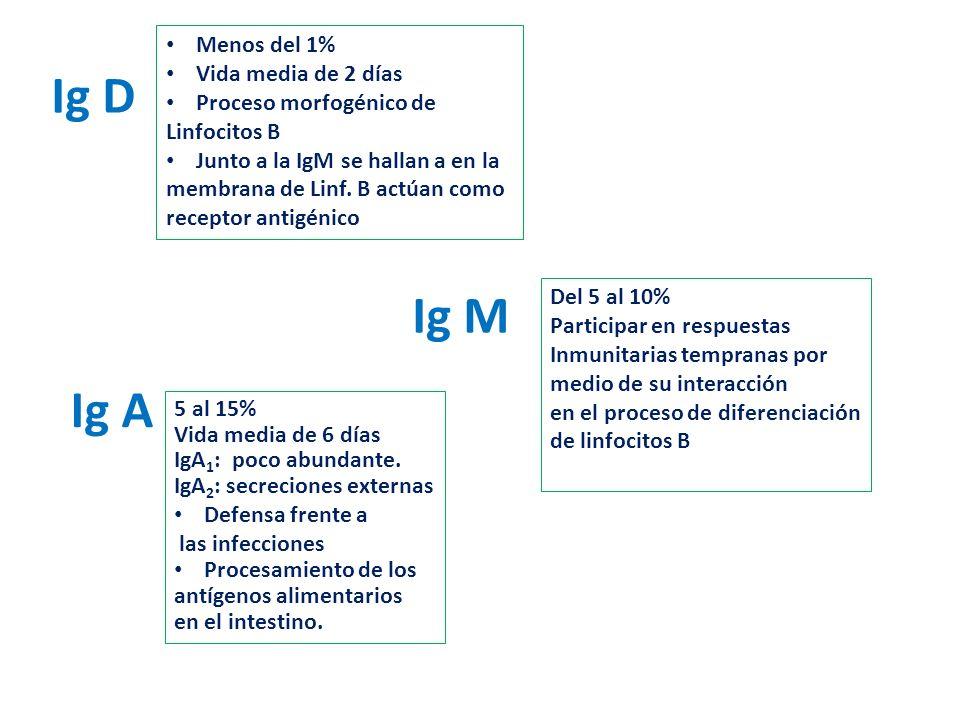 Ig D Menos del 1% Vida media de 2 días Proceso morfogénico de Linfocitos B Junto a la IgM se hallan a en la membrana de Linf. B actúan como receptor a
