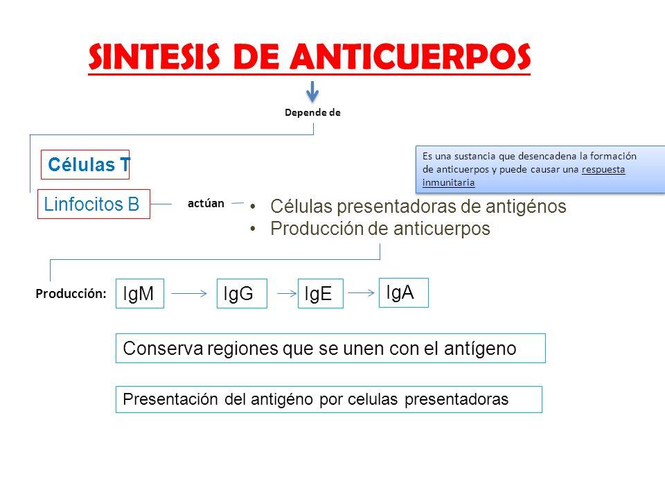 SINTESIS DE ANTICUERPOS Depende de Células T Linfocitos B actúan Células presentadoras de antigénos Producción de anticuerpos Producción: IgMIgGIgE Ig