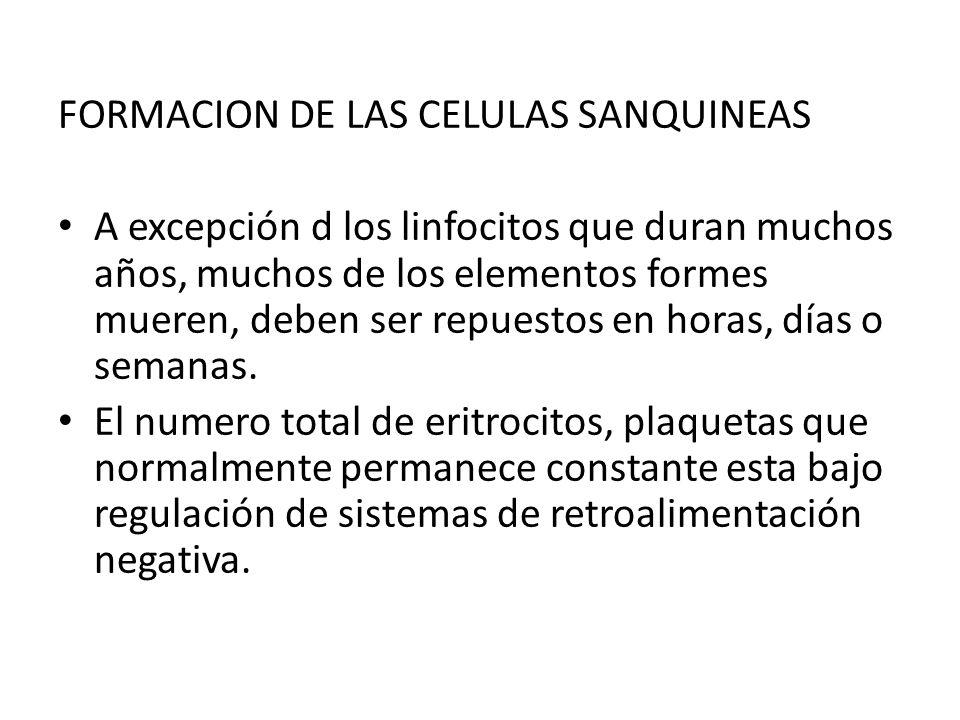 FORMACION DE LAS CELULAS SANQUINEAS A excepción d los linfocitos que duran muchos años, muchos de los elementos formes mueren, deben ser repuestos en