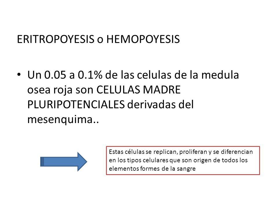 ERITROPOYESIS o HEMOPOYESIS Un 0.05 a 0.1% de las celulas de la medula osea roja son CELULAS MADRE PLURIPOTENCIALES derivadas del mesenquima.. Estas c