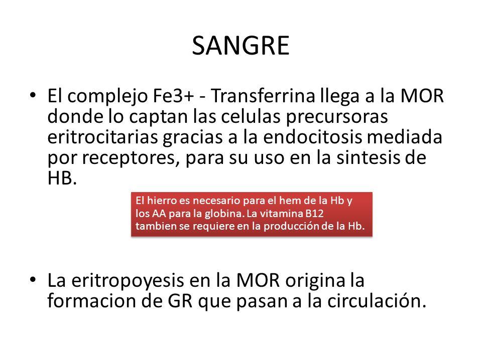 SANGRE El complejo Fe3+ - Transferrina llega a la MOR donde lo captan las celulas precursoras eritrocitarias gracias a la endocitosis mediada por rece