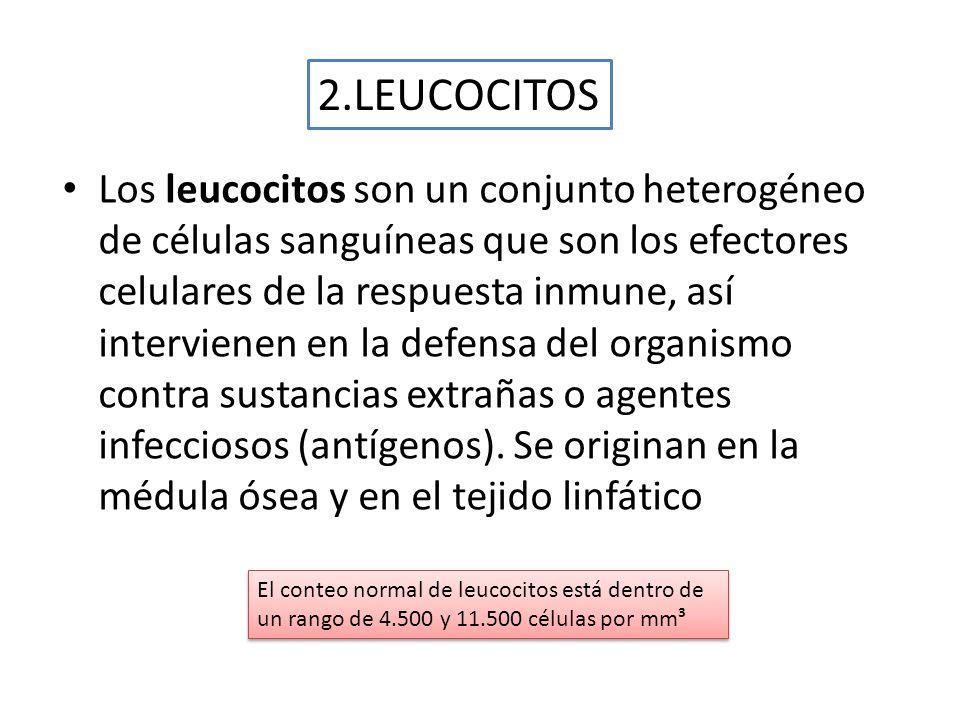 Los leucocitos son un conjunto heterogéneo de células sanguíneas que son los efectores celulares de la respuesta inmune, así intervienen en la defensa