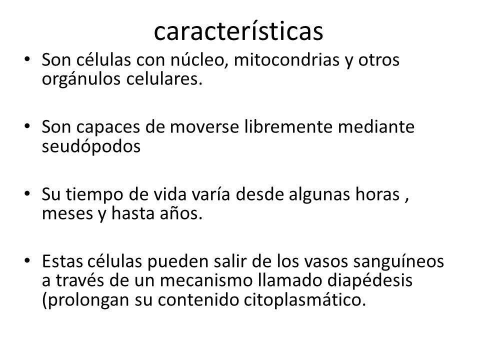 características Son células con núcleo, mitocondrias y otros orgánulos celulares. Son capaces de moverse libremente mediante seudópodos Su tiempo de v
