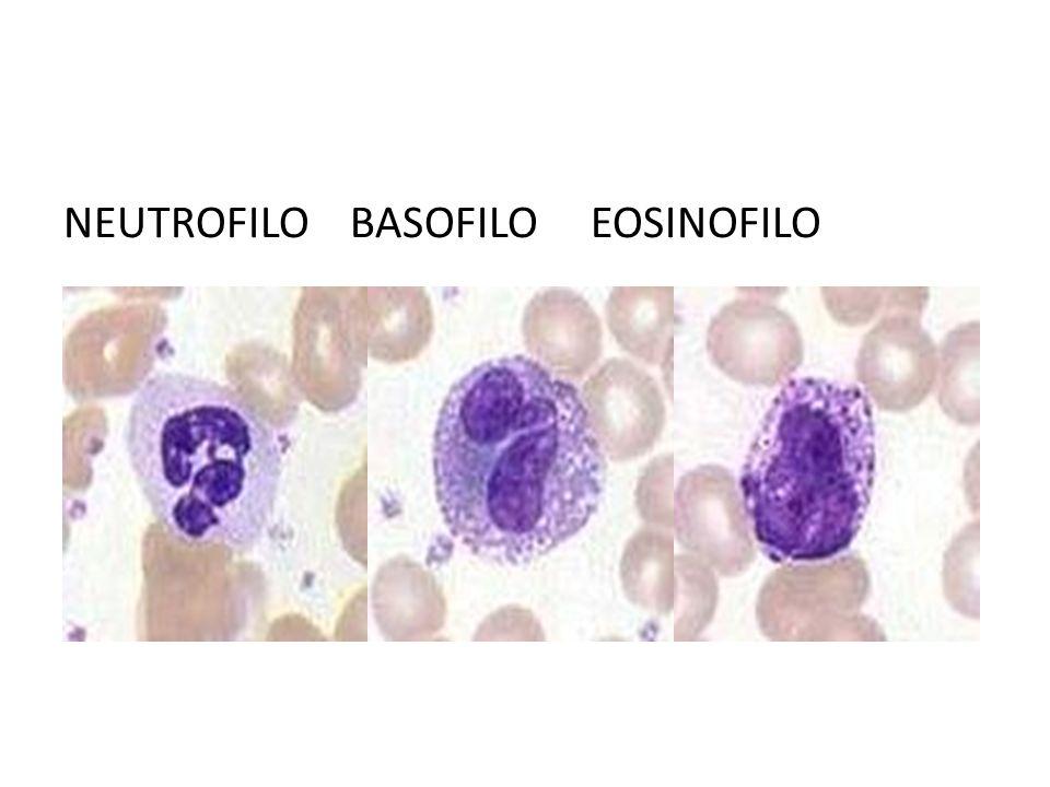 NEUTROFILO BASOFILO EOSINOFILO