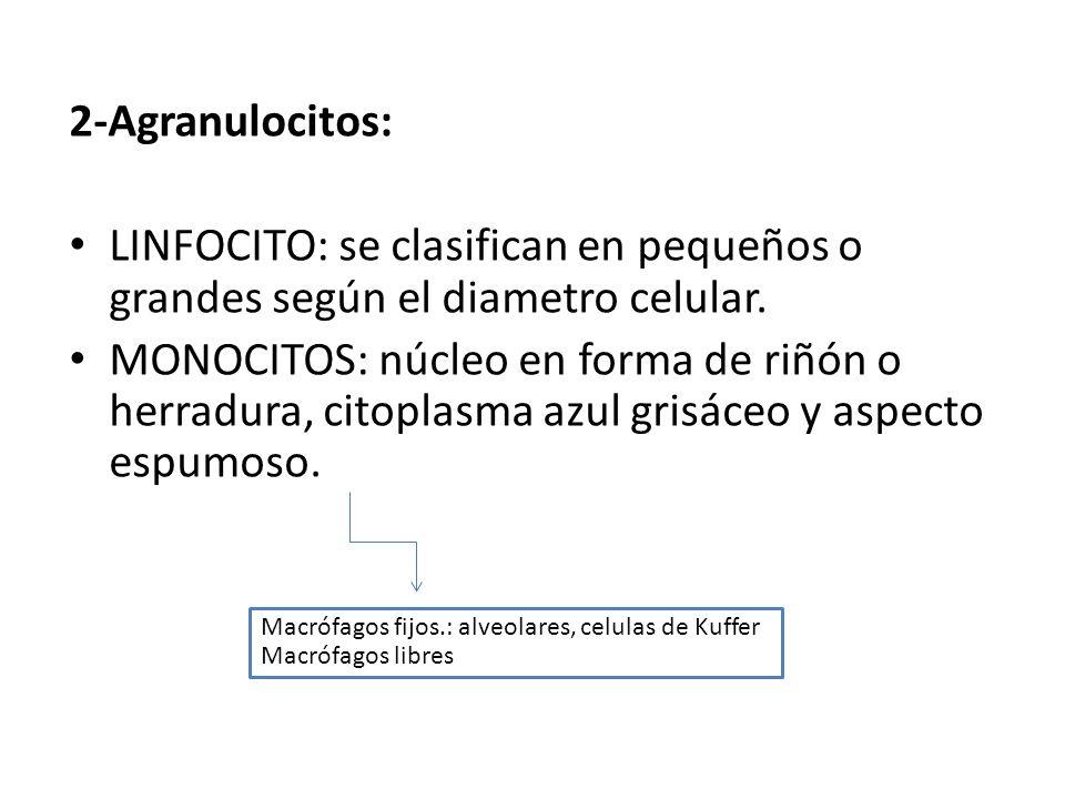 2-Agranulocitos: LINFOCITO: se clasifican en pequeños o grandes según el diametro celular. MONOCITOS: núcleo en forma de riñón o herradura, citoplasma