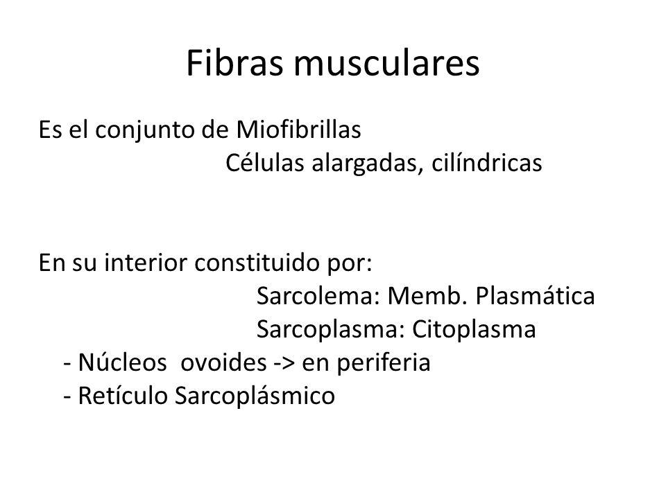 Fibras musculares Es el conjunto de Miofibrillas Células alargadas, cilíndricas En su interior constituido por: Sarcolema: Memb. Plasmática Sarcoplasm