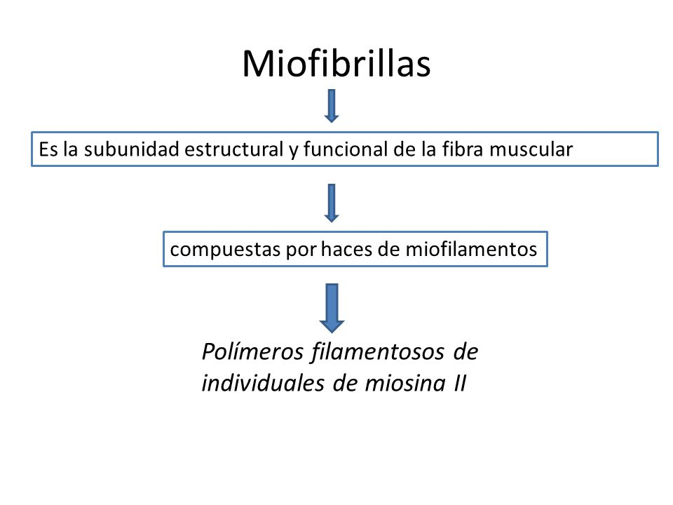 Miofibrillas Es la subunidad estructural y funcional de la fibra muscular compuestas por haces de miofilamentos Polímeros filamentosos de individuales