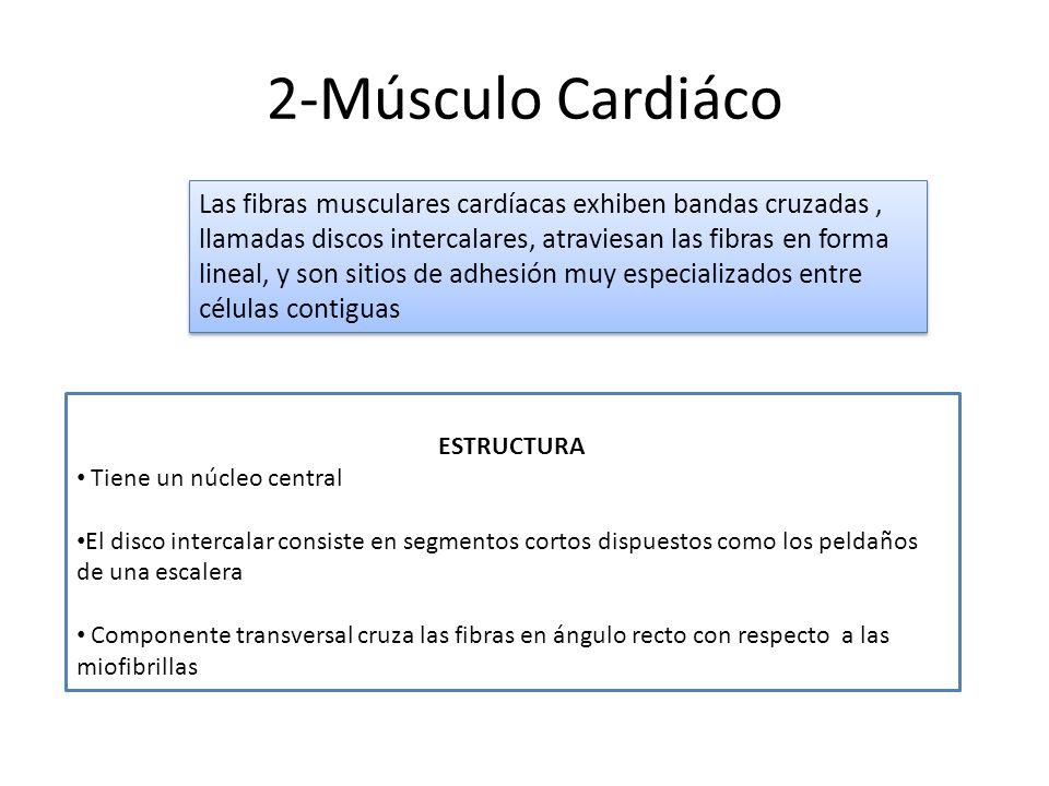 2-Músculo Cardiáco Las fibras musculares cardíacas exhiben bandas cruzadas, llamadas discos intercalares, atraviesan las fibras en forma lineal, y son
