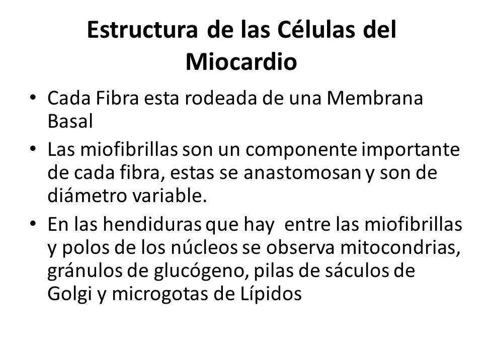 Estructura de las Células del Miocardio Cada Fibra esta rodeada de una Membrana Basal Las miofibrillas son un componente importante de cada fibra, est