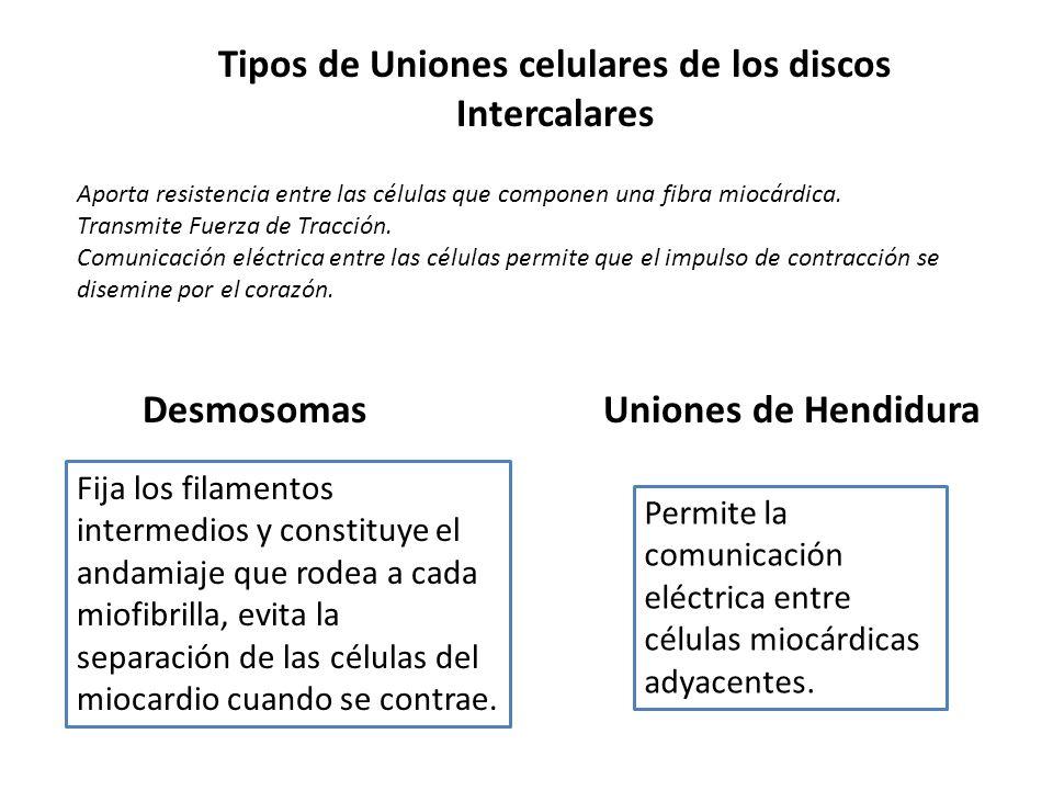 Tipos de Uniones celulares de los discos Intercalares Fija los filamentos intermedios y constituye el andamiaje que rodea a cada miofibrilla, evita la