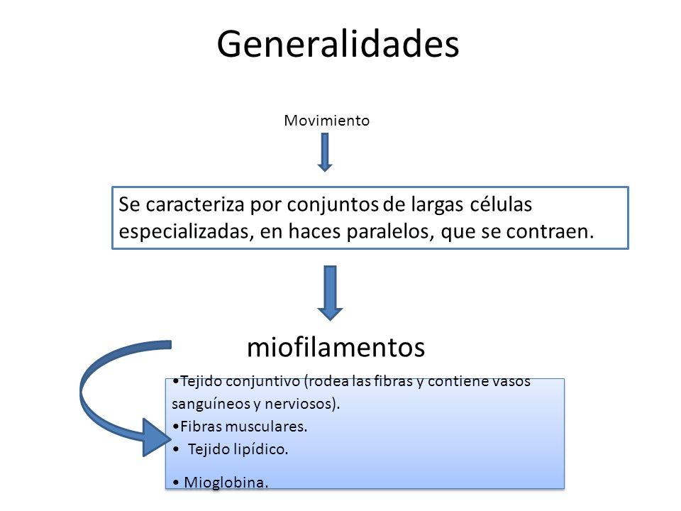 Generalidades Se caracteriza por conjuntos de largas células especializadas, en haces paralelos, que se contraen. Movimiento miofilamentos Tejido conj