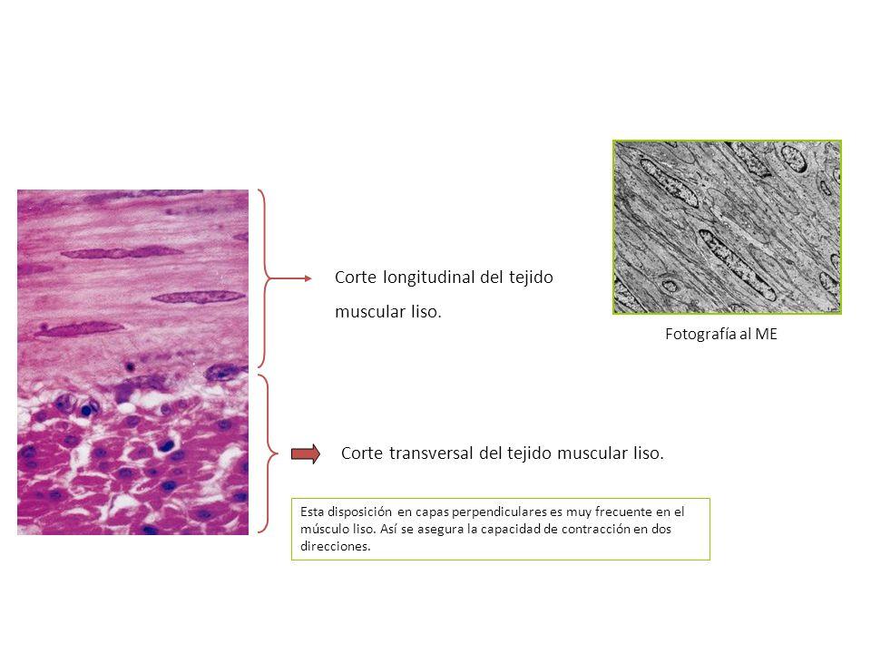 Corte longitudinal del tejido muscular liso. Corte transversal del tejido muscular liso. Fotografía al ME Esta disposición en capas perpendiculares es