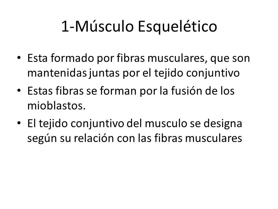1-Músculo Esquelético Esta formado por fibras musculares, que son mantenidas juntas por el tejido conjuntivo Estas fibras se forman por la fusión de l