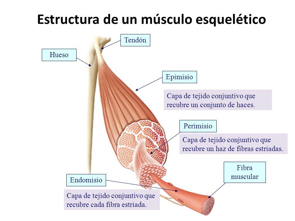 Estructura de un músculo esquelético Tendón Epimisio Perimisio Endomisio Fibra muscular Hueso Capa de tejido conjuntivo que recubre cada fibra estriad