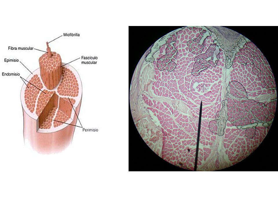Fibras musculares Es el conjunto de Miofibrillas Células alargadas, cilíndricas En su interior constituido por: Sarcolema: Memb.