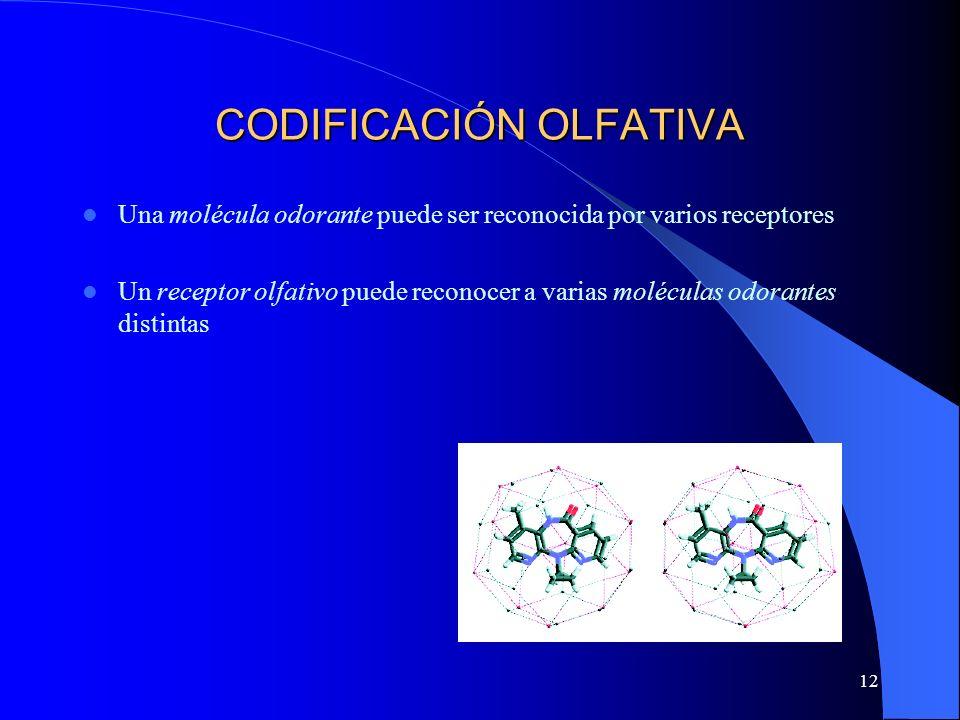 12 CODIFICACIÓN OLFATIVA Una molécula odorante puede ser reconocida por varios receptores Un receptor olfativo puede reconocer a varias moléculas odor