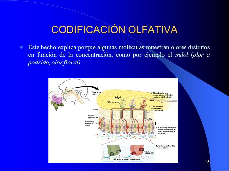 18 CODIFICACIÓN OLFATIVA Este hecho explica porque algunas moléculas muestran olores distintos en función de la concentración, como por ejemplo el ind