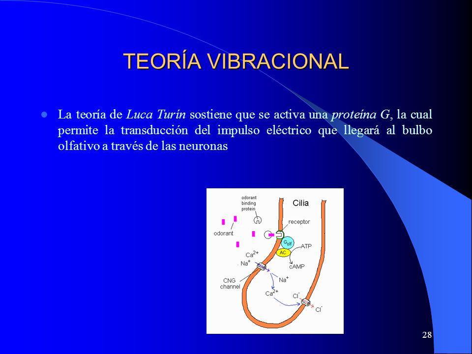 28 TEORÍA VIBRACIONAL La teoría de Luca Turín sostiene que se activa una proteína G, la cual permite la transducción del impulso eléctrico que llegará