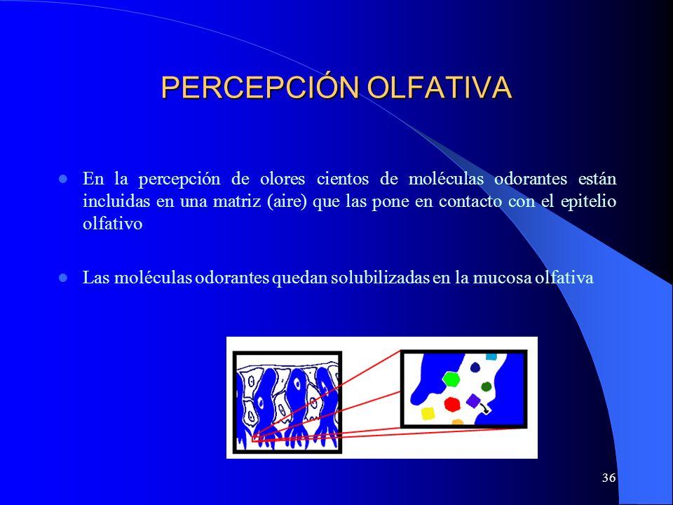 36 PERCEPCIÓN OLFATIVA En la percepción de olores cientos de moléculas odorantes están incluidas en una matriz (aire) que las pone en contacto con el