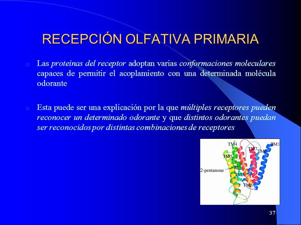 37 RECEPCIÓN OLFATIVA PRIMARIA o Las proteínas del receptor adoptan varias conformaciones moleculares capaces de permitir el acoplamiento con una dete