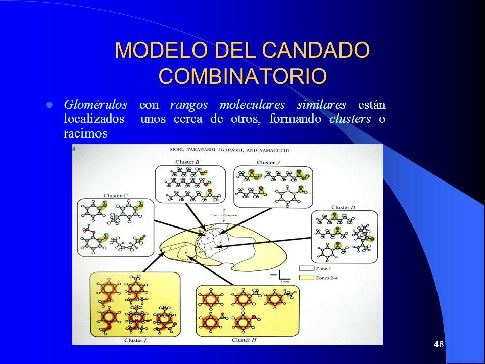48 MODELO DEL CANDADO COMBINATORIO Glomérulos con rangos moleculares similares están localizados unos cerca de otros, formando clusters o racimos