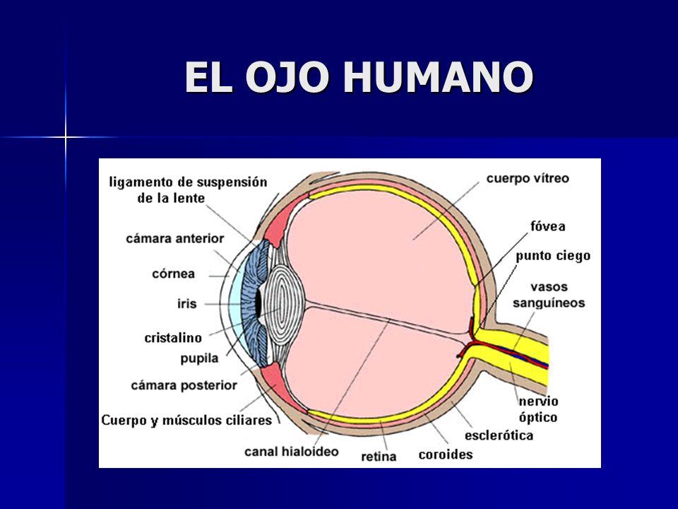 DEFECTOS DE LA VISION Miopía La persona miope no ve bien de lejos.