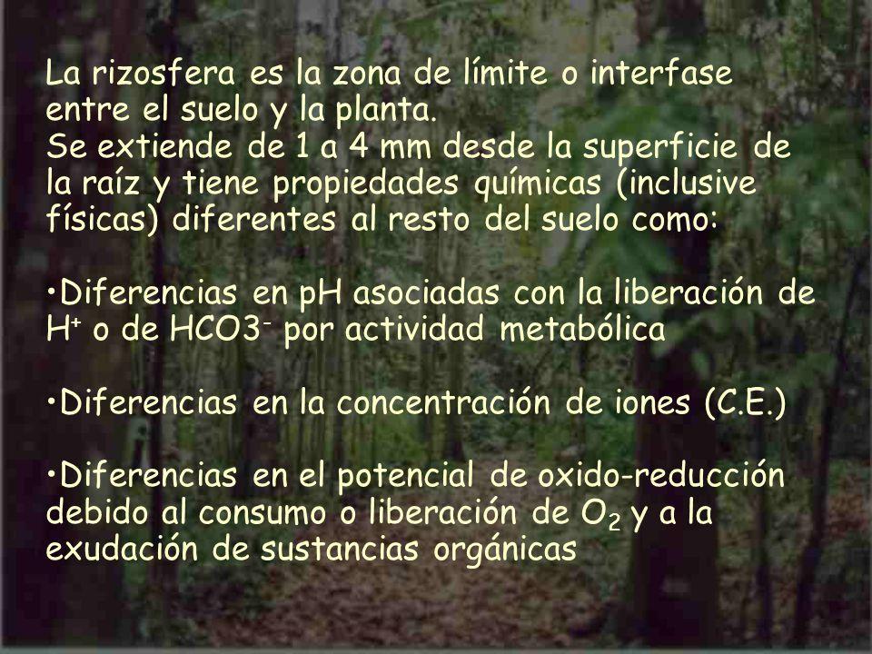 La rizosfera es la zona de límite o interfase entre el suelo y la planta. Se extiende de 1 a 4 mm desde la superficie de la raíz y tiene propiedades q