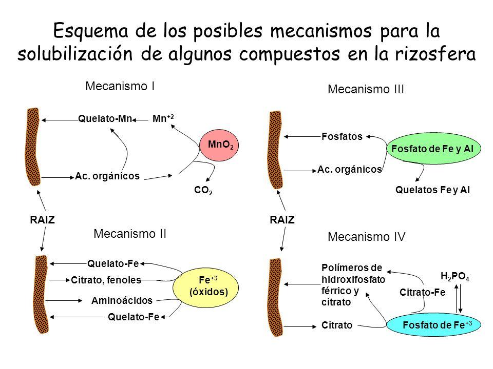 Esquema de los posibles mecanismos para la solubilización de algunos compuestos en la rizosfera Mecanismo I MnO 2 CO 2 Mn +2 Quelato-Mn Ac. orgánicos