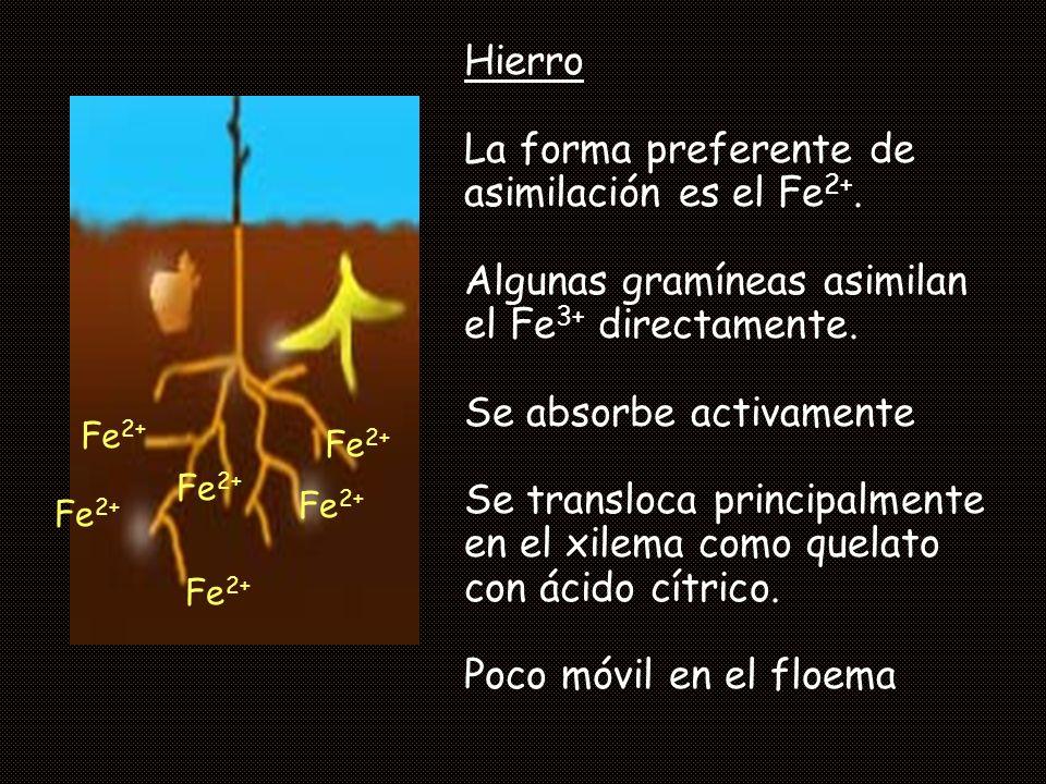 Hierro La forma preferente de asimilación es el Fe 2+. Algunas gramíneas asimilan el Fe 3+ directamente. Se absorbe activamente Se transloca principal