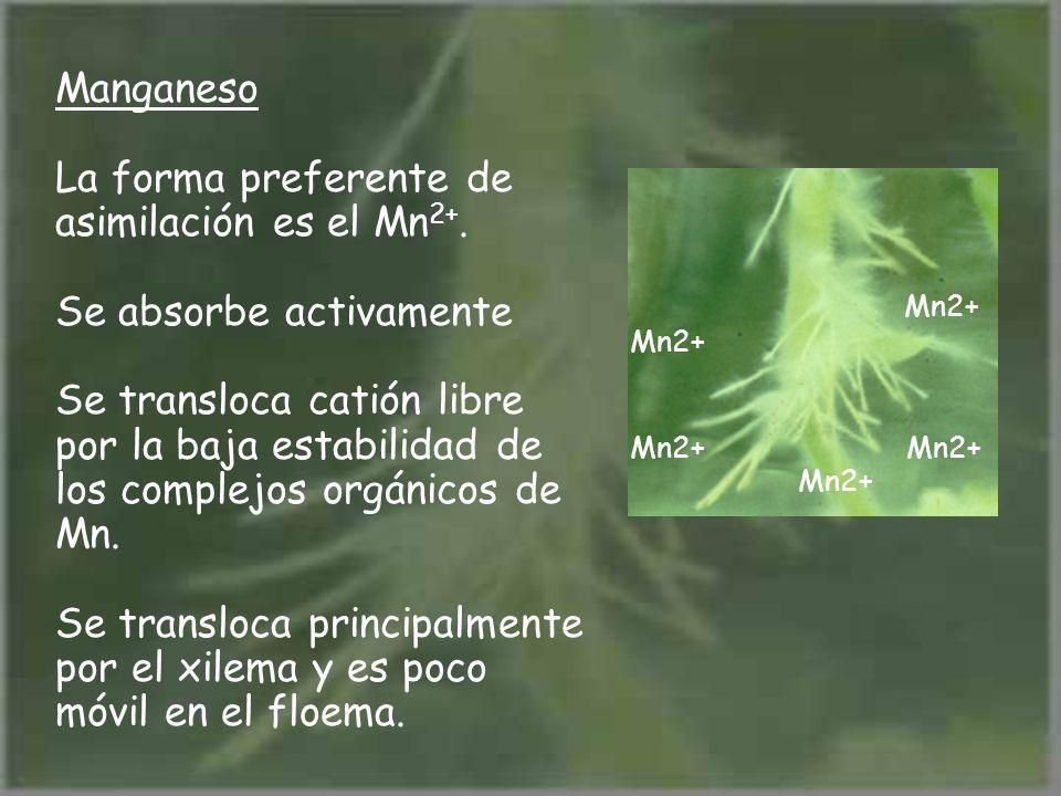 Manganeso La forma preferente de asimilación es el Mn 2+. Se absorbe activamente Se transloca catión libre por la baja estabilidad de los complejos or
