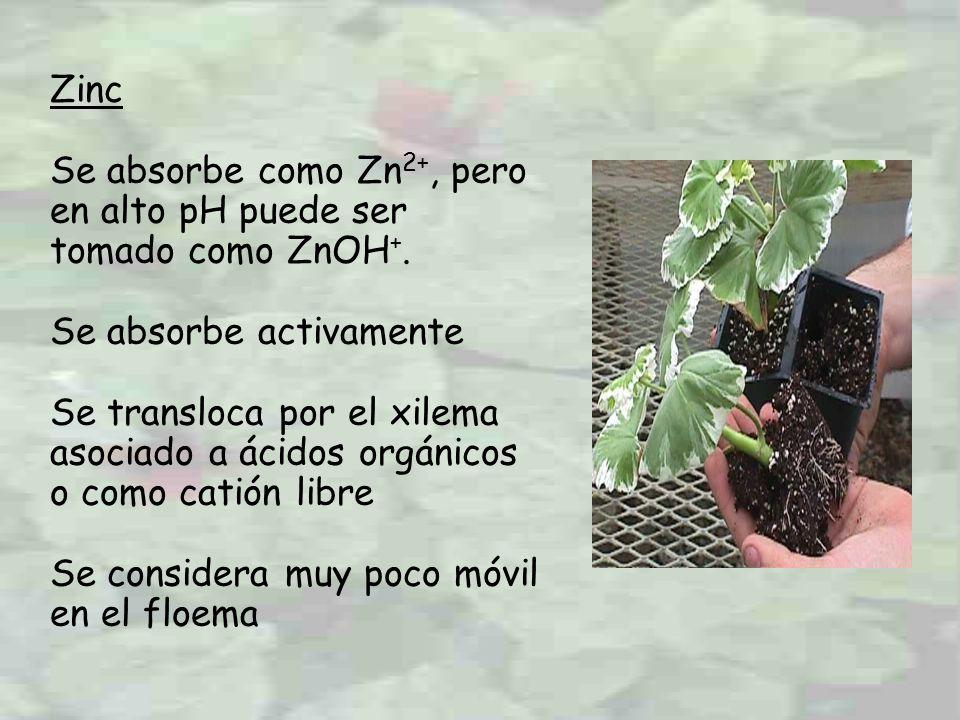 Zinc Se absorbe como Zn 2+, pero en alto pH puede ser tomado como ZnOH +. Se absorbe activamente Se transloca por el xilema asociado a ácidos orgánico
