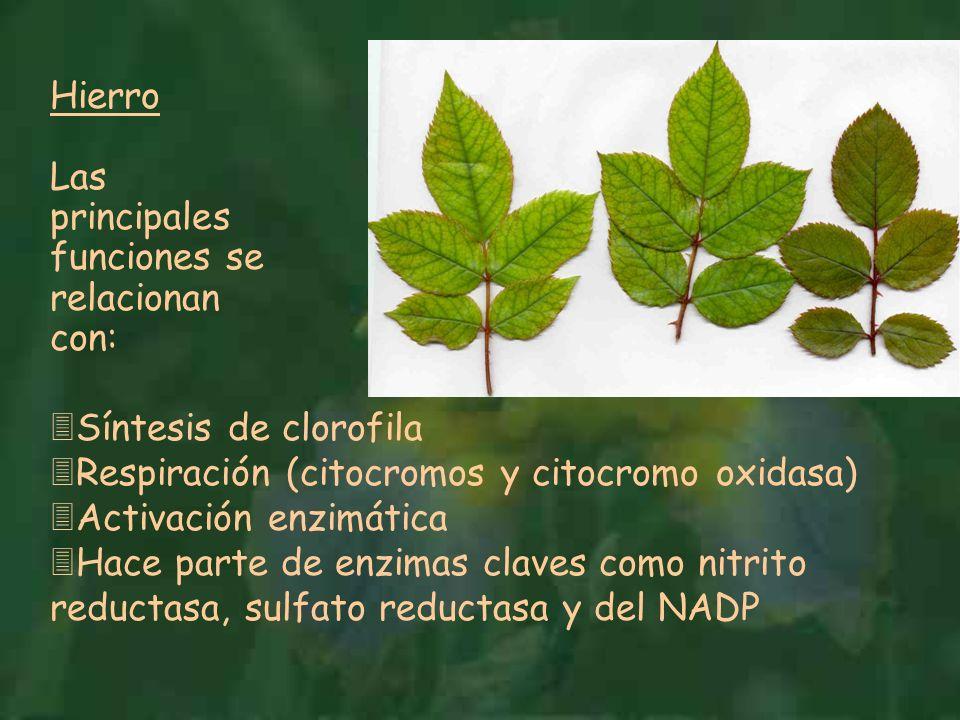 Hierro Las principales funciones se relacionan con: 3Síntesis de clorofila 3Respiración (citocromos y citocromo oxidasa) 3Activación enzimática 3Hace