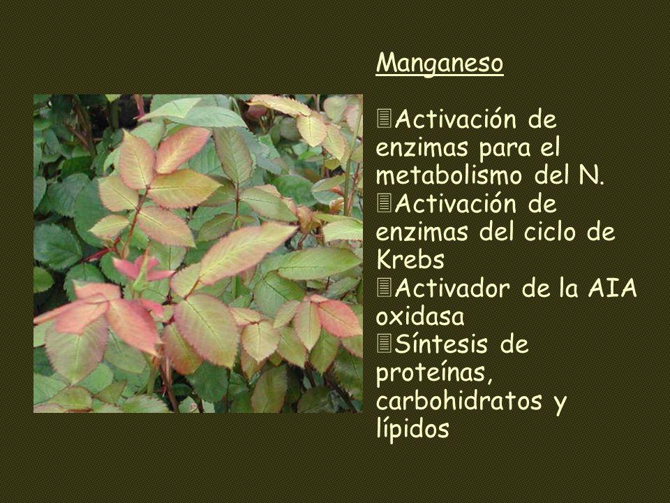 Manganeso 3Activación de enzimas para el metabolismo del N. 3Activación de enzimas del ciclo de Krebs 3Activador de la AIA oxidasa 3Síntesis de proteí