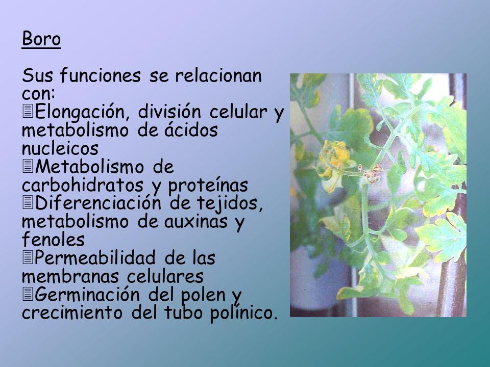 Boro Sus funciones se relacionan con: 3Elongación, división celular y metabolismo de ácidos nucleicos 3Metabolismo de carbohidratos y proteínas 3Difer