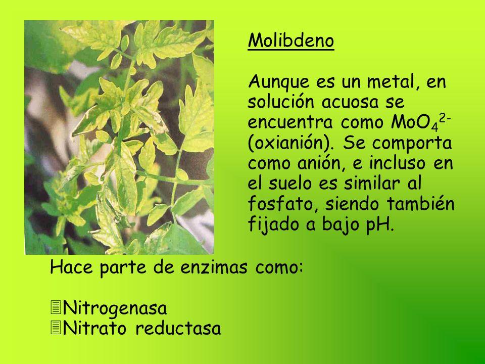 Molibdeno Aunque es un metal, en solución acuosa se encuentra como MoO 4 2- (oxianión). Se comporta como anión, e incluso en el suelo es similar al fo