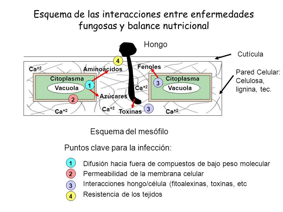 Esquema de las interacciones entre enfermedades fungosas y balance nutricional Esquema del mesófilo Pared Celular: Celulosa, lignina, tec. Vacuola Cit